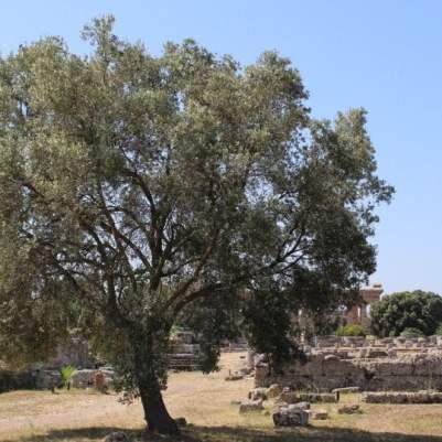 olivier à Paestum