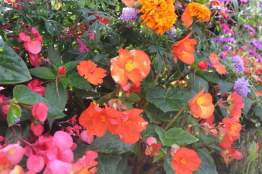 Begonias orange