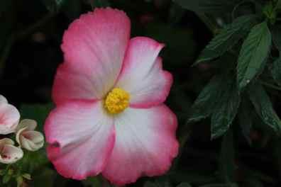 Begonias roses et blancs jardin de Coutances