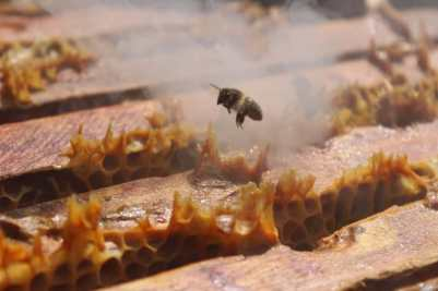 Abeille s'envolant deluis la ruche