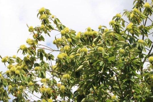 Châtaignes dans l'arbre