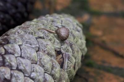 champignon et pomme de pin