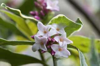 daphné en fleurs
