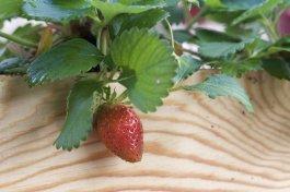 fraises du jardin dans une caisse à vin