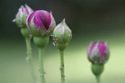 Pucerons sur rosier