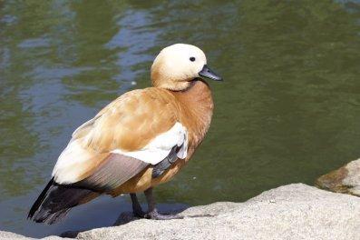 Un canard au bord des douves du château de Gratot