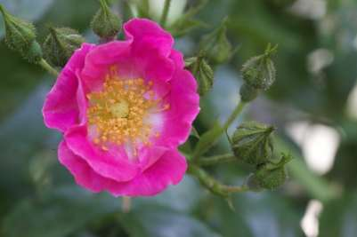 rose-ancienne