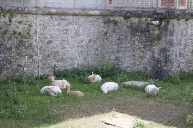 Des daims dans les douves du château de Breteuil