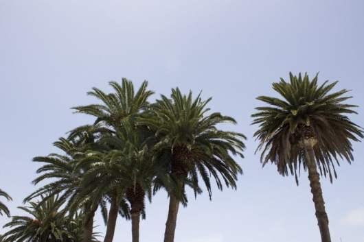 palmiers males de Lanzarote
