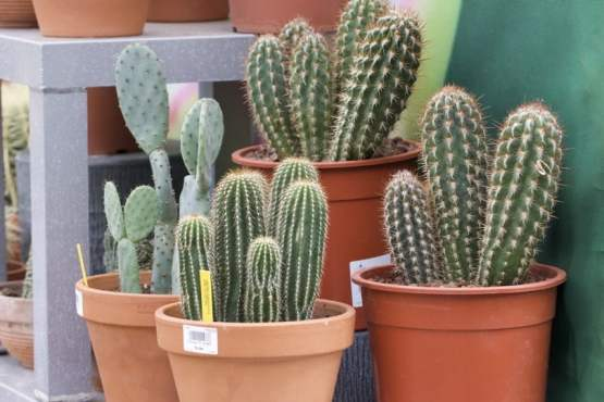 Cactus cierges et raquettes