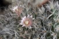 Mini cactus d'intérieur fleuris