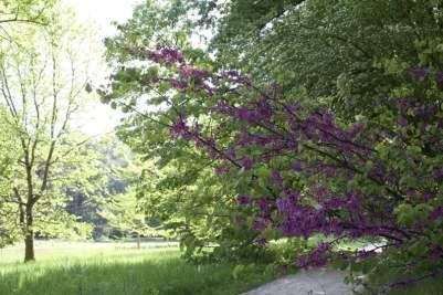 Allée avec arbre de judée dans le domaine de Chateaubriand.