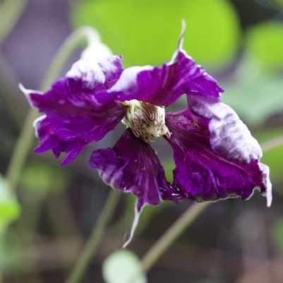 Fleur de clématite mauve.