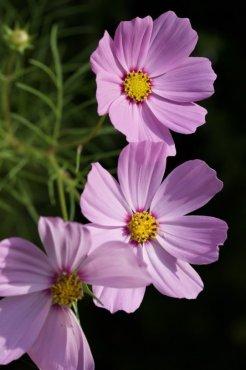 Les cosmos, des fleurs d'été.