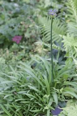 Agapanthe au jardin