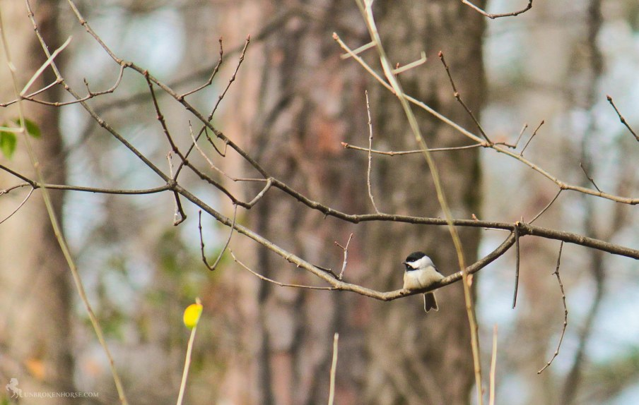 John James Audubon named this bird while he was in South Carolina. The curious, intelligent Carolina Chickadee looks very much like a Black-capped Chickadee, with a black cap, black bib, gray wings and back, and whitish underside. Carolina and Black-capped chickadees hybridize in the area where their ranges overlap, but the two species probably diverged more than 250,000 years ago.