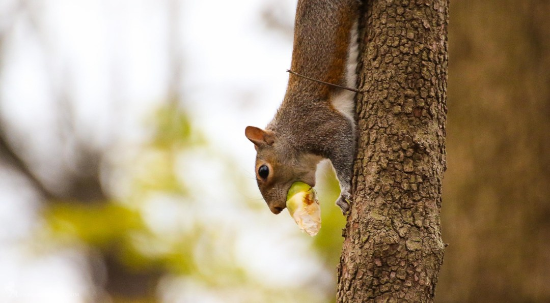 Squirrels always seem to have a mouthful.
