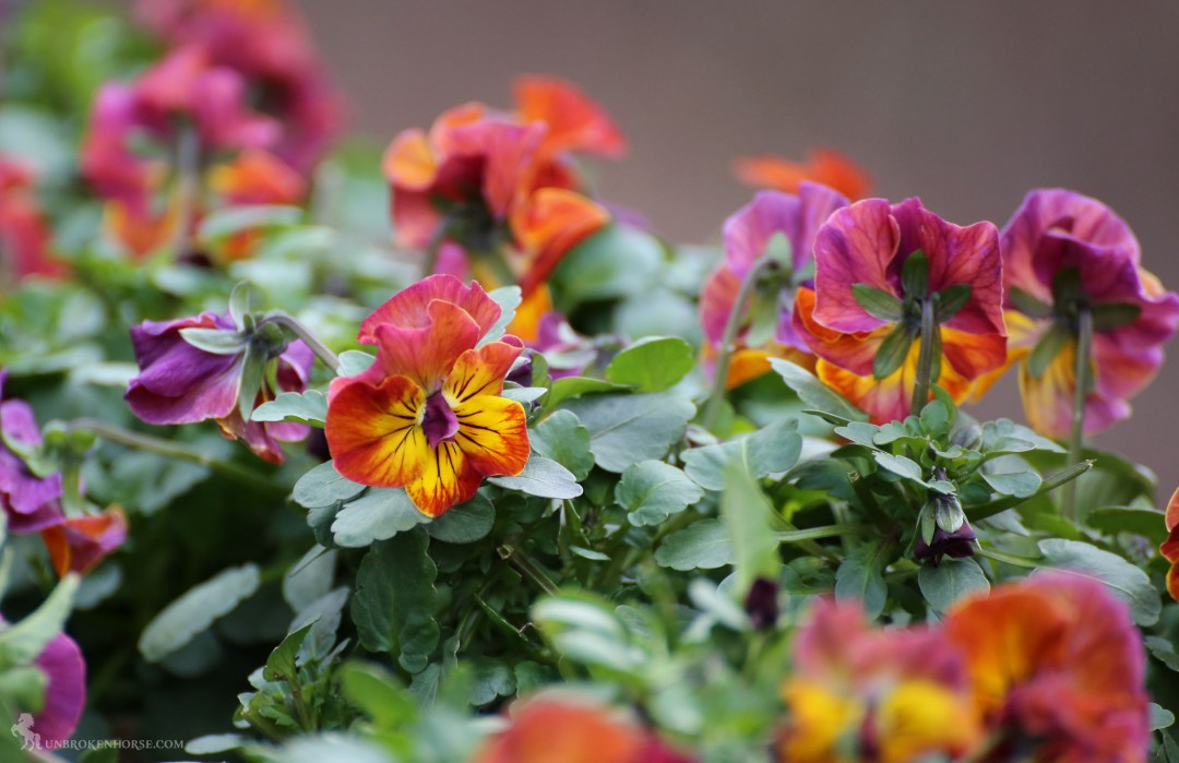 Lovely firey colors for the simple pansy.