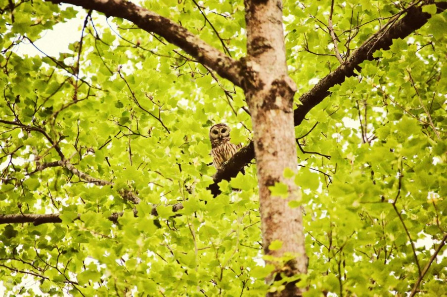 The treat for the evening was the barred owl and it's mate, in a tree far above us.
