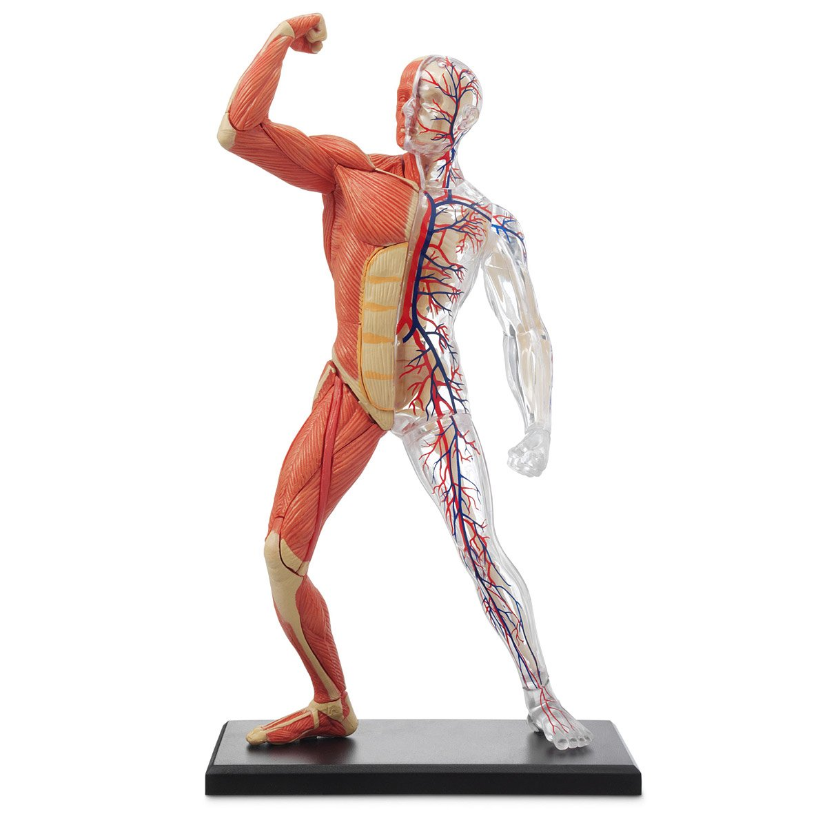 3 D Human Muscle Amp Skeleton Puzzle
