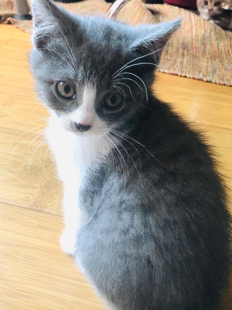 magnifique chaton british shorthair gris blanc uncompagnon fr