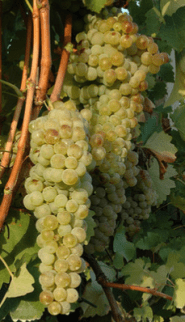 Albana_grapes_crop - Gianluca Giunchi
