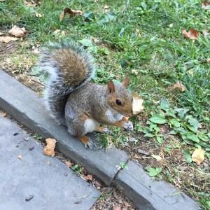 les écureuils de New York