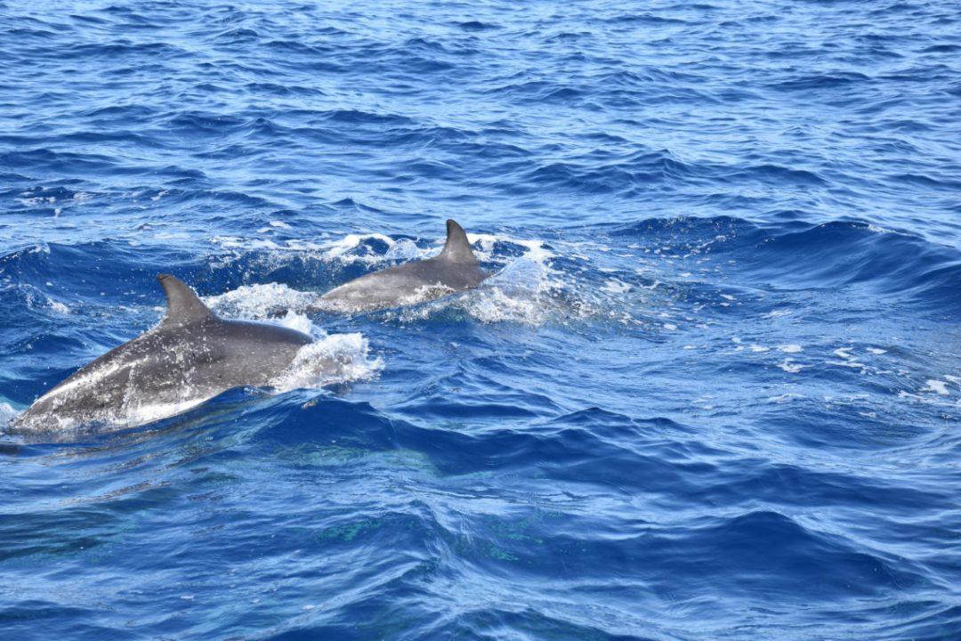 Dauphins au Sud de l'ile de Gran Canaria