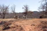 Llamas at Arbuckle Wilderness