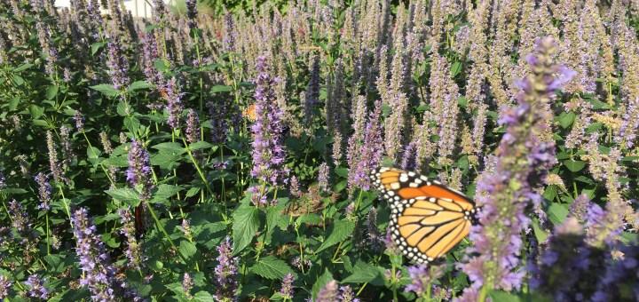 Butterfly at Myriad Gardens - Photo by Dennis Spielman