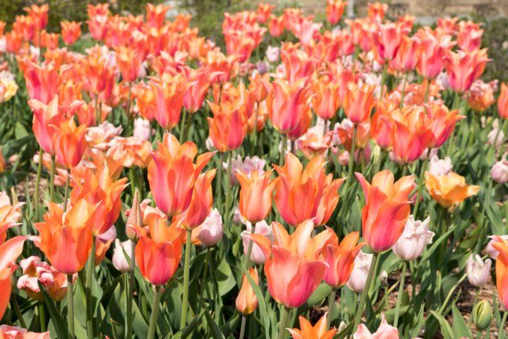 Tulsa Botanic Garden's bulbs - photo by Dennis Spielman