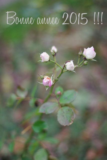 Roses d'hiver et bonne année 2015