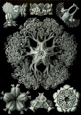 Ernst Haeckel, Kunstformen der natur, Ophiodea 70