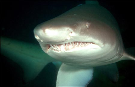 https://i2.wp.com/www.underwater.com.au/content/7136/grey_nurse_shark_close.jpg