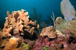 Bucht von Schweinen Corales
