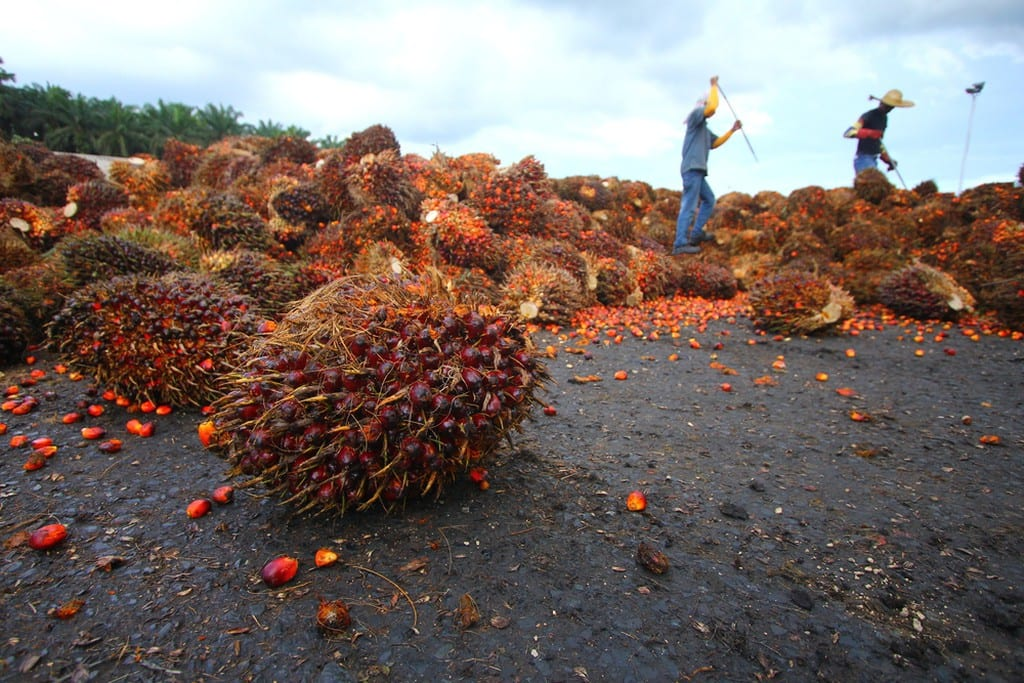 Palm Fruit harvesting | © Ky Tan/Shutterstock