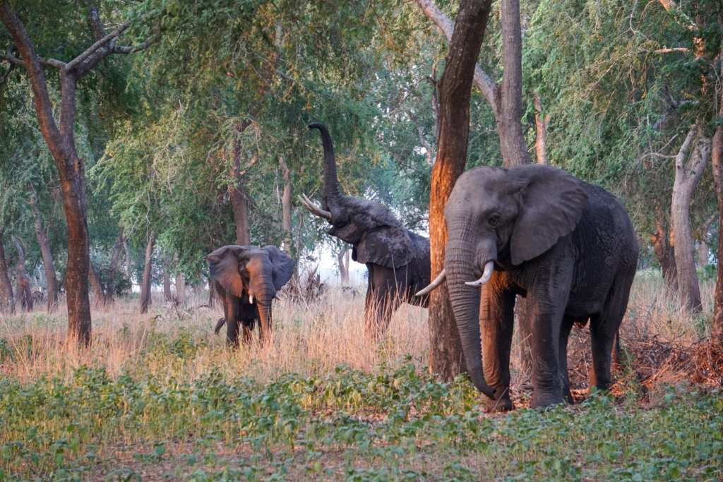 Gorongosa's elephants, once poached nearly to disappearance, now number over 650 | © Emily Scott/Blue Sky Society