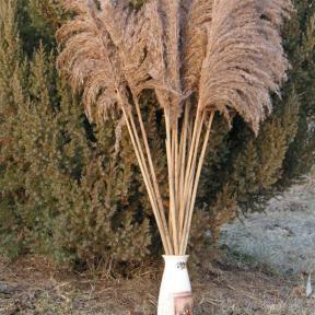 acheter herbe de la pampa (4)