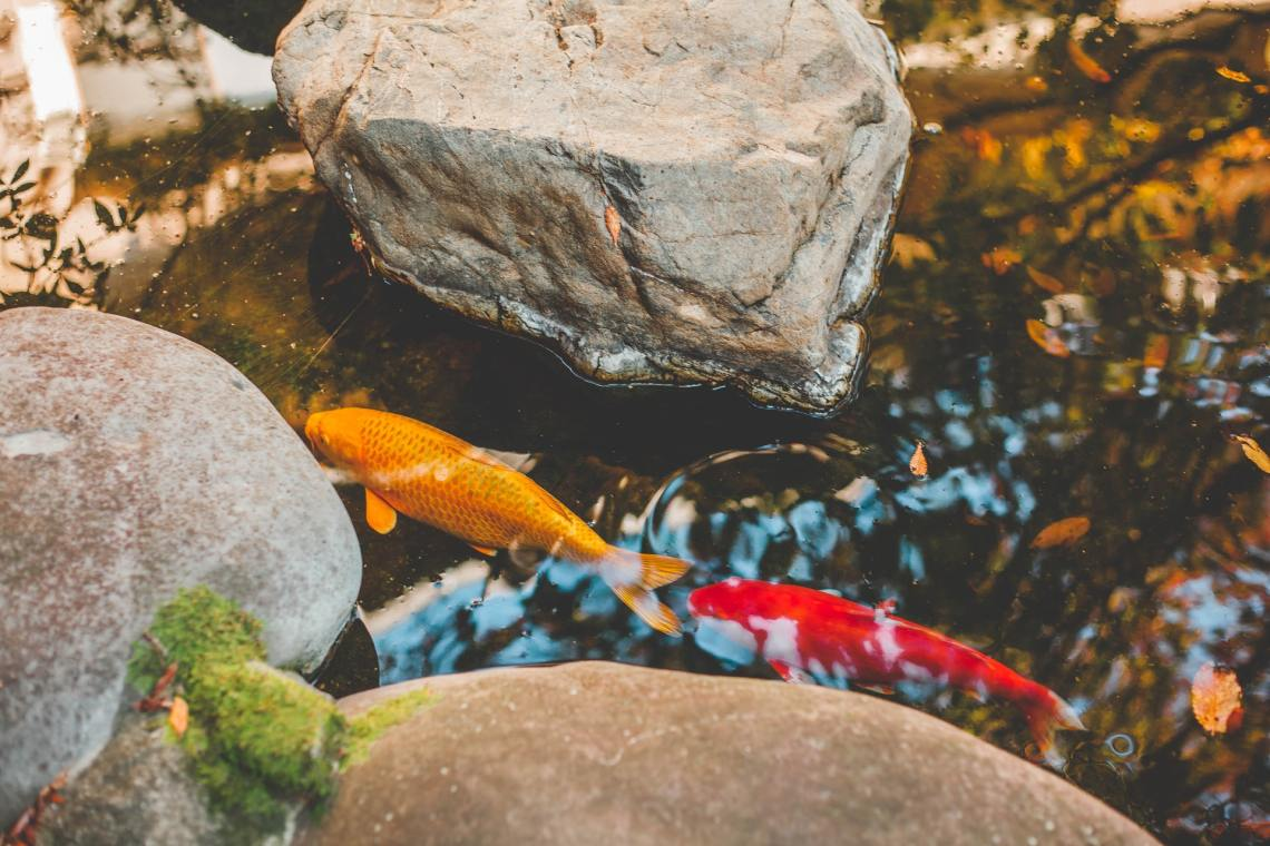 entretenir bassin avec poissons en été