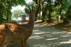 Vorsicht Wild! Bei Sichtkontakt abbremsen und Fernlicht ausschalten. Scheinwerferlicht irritiert die Tiere. Foto: ADAC.