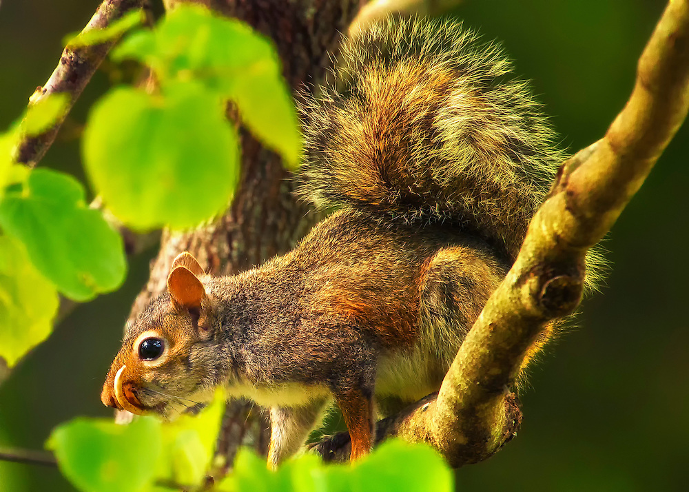 Snaggletooth Squirrel in Tree