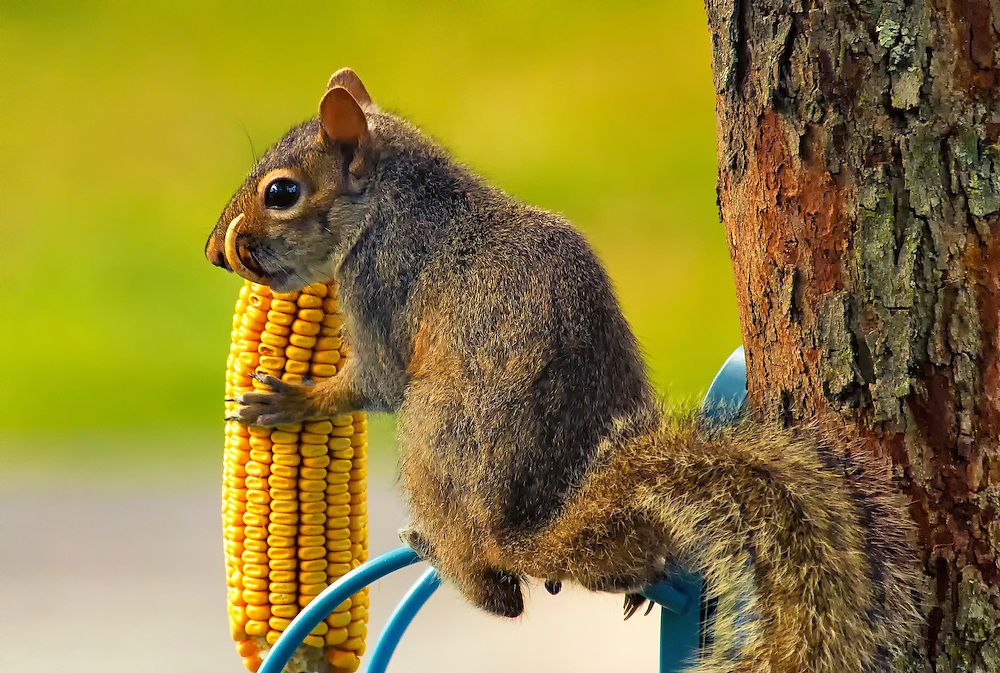 Snaggletooth Squirrel with Corn