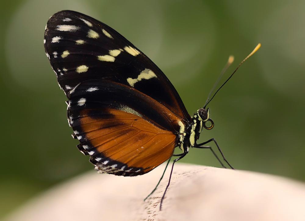 Tiger Longwing Profile