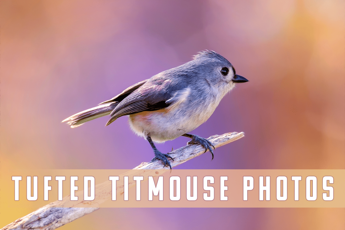 Tufted Titmouse - Bird Photography