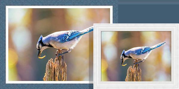 Blue Jay Photos