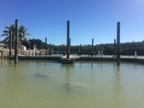 manatees in flamingo marina