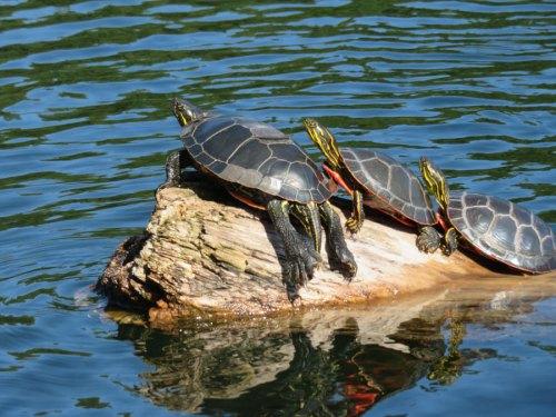 turtles in boundary waters