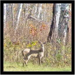 Early October: Photographed north of Duluth. Deer season begins Nov. 11. Although I hunted until my daughter as a kid asked me to stop, I hope this one survives to be seen again next year.