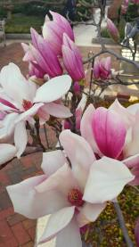 March11: Magnolia blooms at the Enid Haupt Garden, Smithsonian Institute.