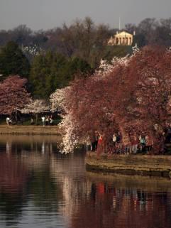 Cherry blossoms at Tidal Basin.
